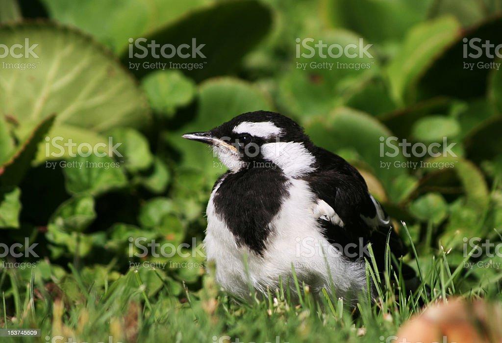 Magpie Lark Chick stock photo