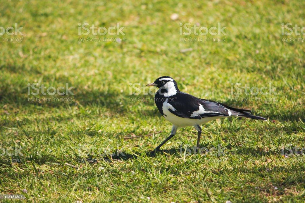 Magpie Lark walking stock photo