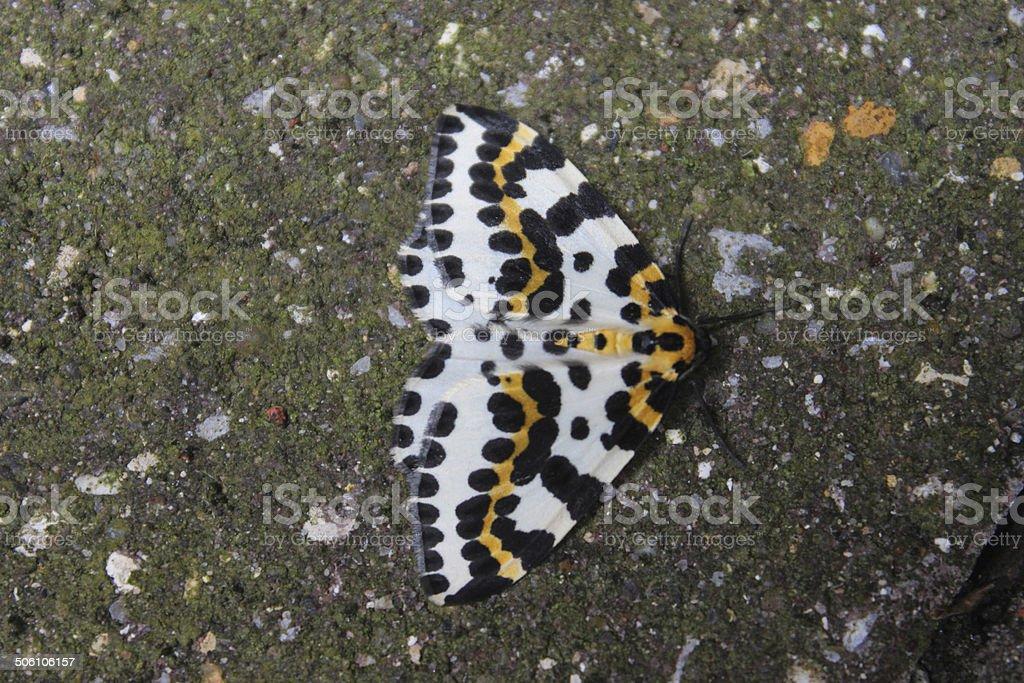 Magpie moth image, black, white and yellow spots, (Abraxas grossulariata) stock photo