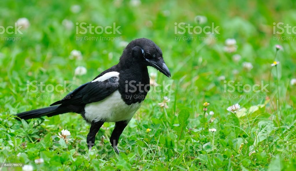 Magpie on field. stock photo
