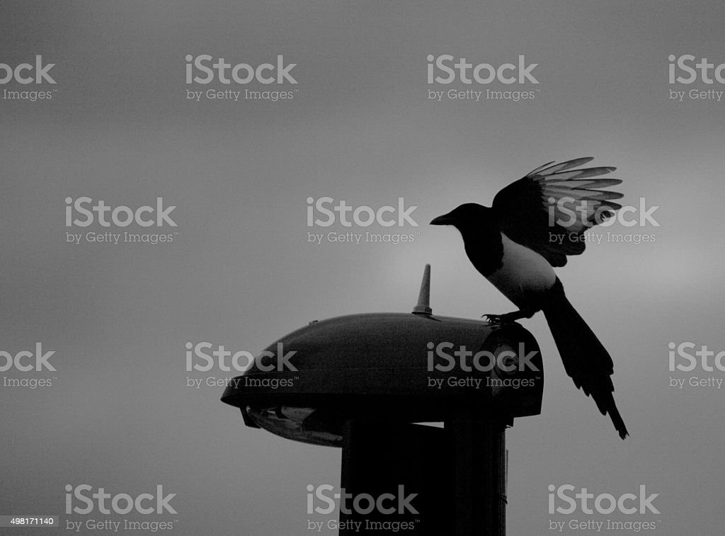 Magpie on lamp post stock photo