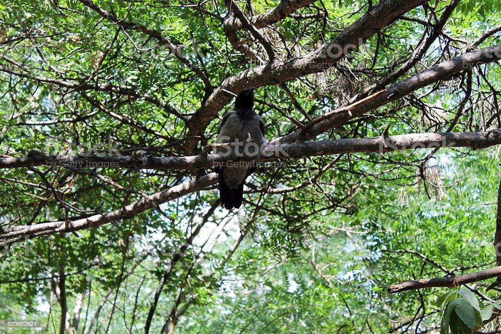 magpie on the tree stock photo