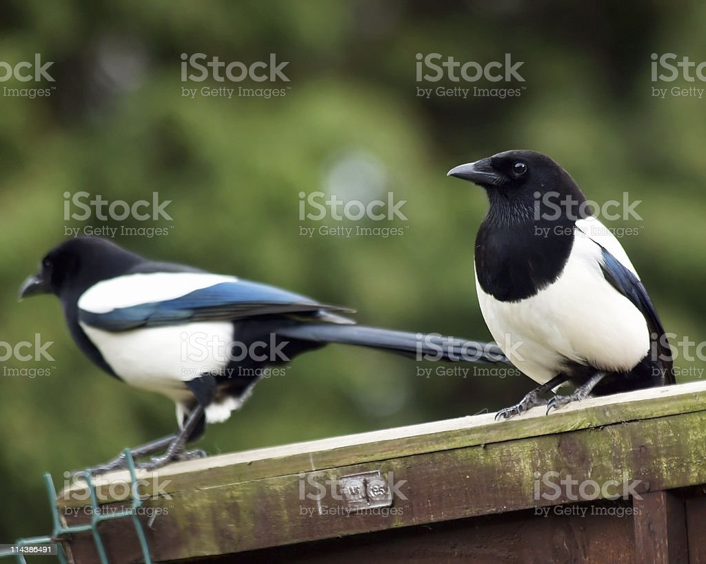 Magpie (Pica-pica) royalty-free stock photo