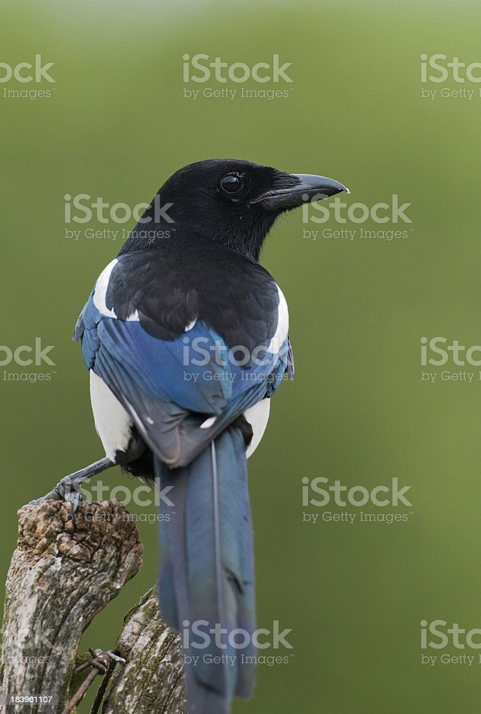 Magpie (Pica pica) royalty-free stock photo