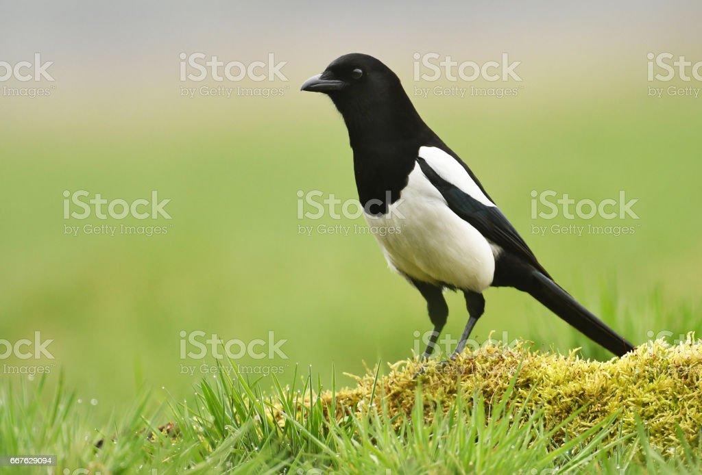 magpie stock photo