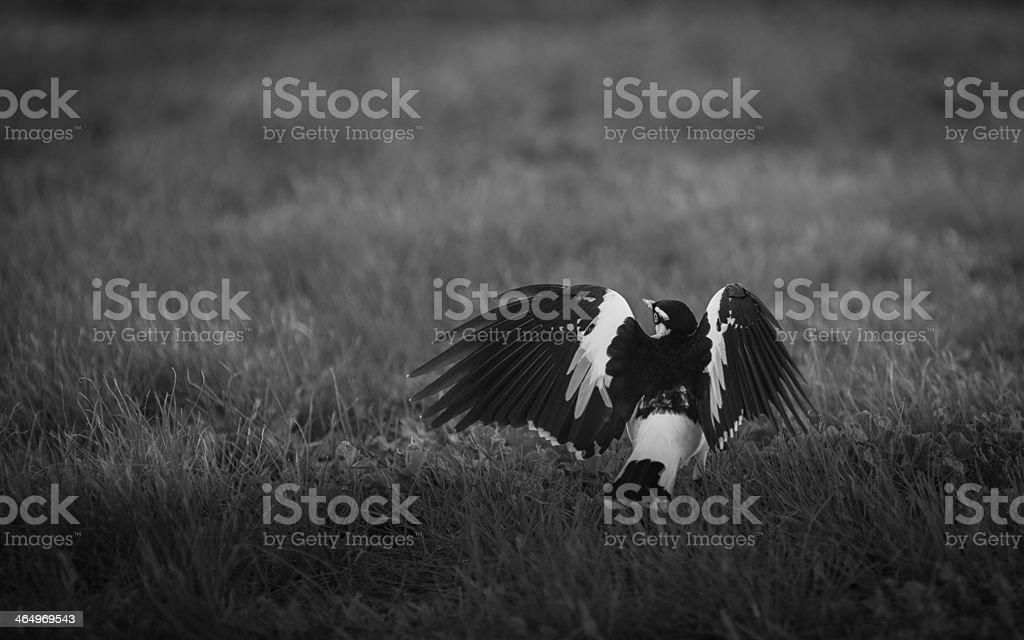 Magpie-Lark stock photo