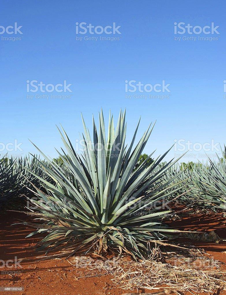 maguey field stock photo