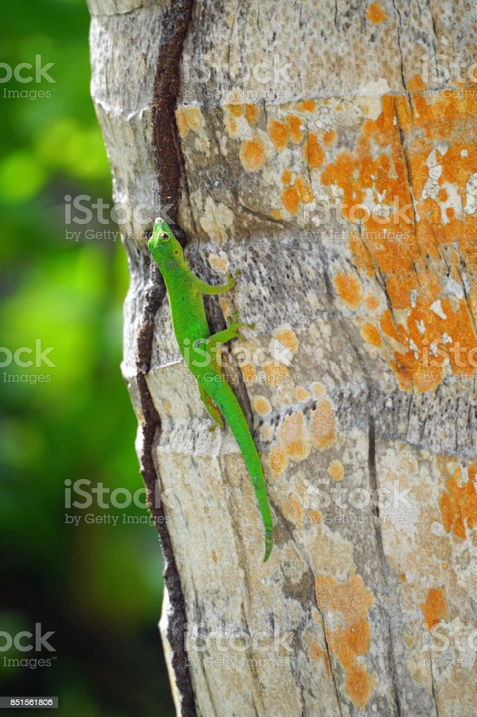 Mahé Green gecko on trunk stock photo