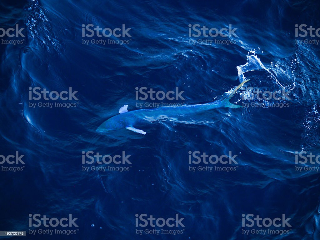 mahi mahi (Coryphaena hippurus) stock photo