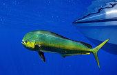 mahi-mahi or dolphin fish