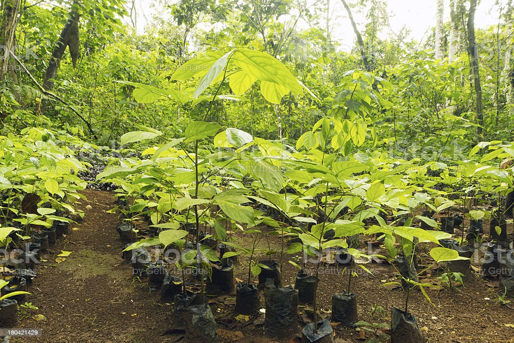 Mahogany seedlings for reforestation stock photo