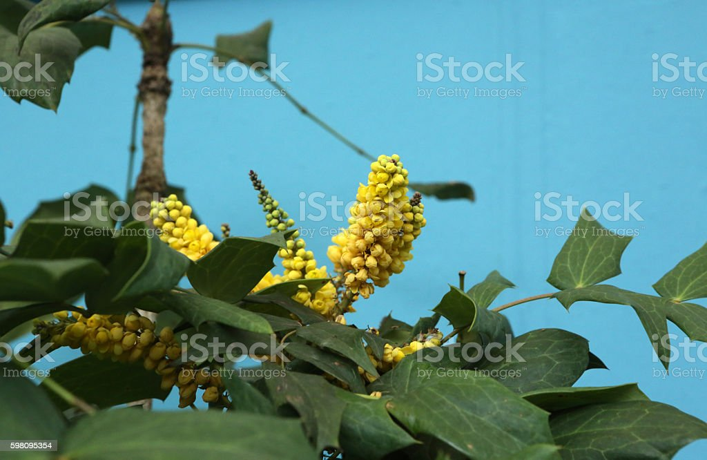 Mahonia Oiwakensis Hayata stock photo