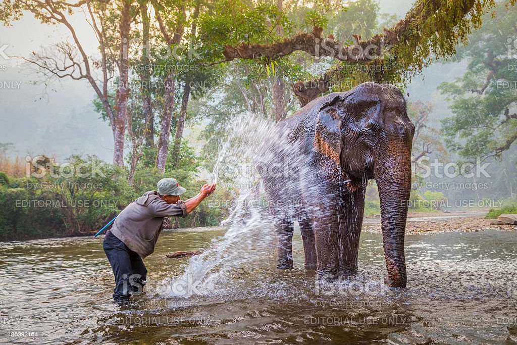 mahout bath and clean the elephants in the the river stock photo