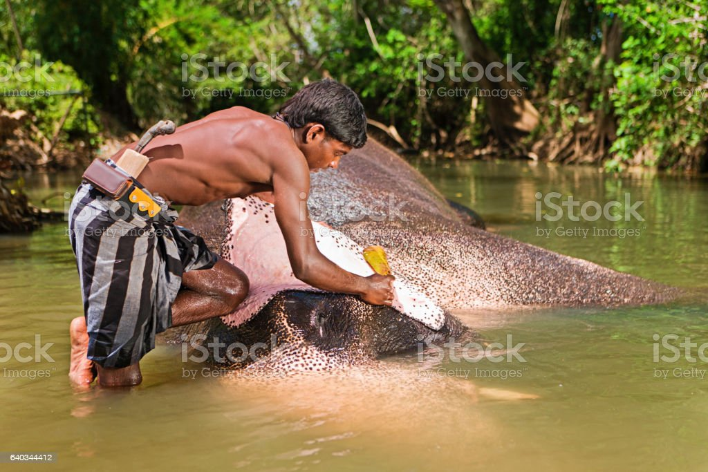 Mahout bathing his elephant in the river stock photo