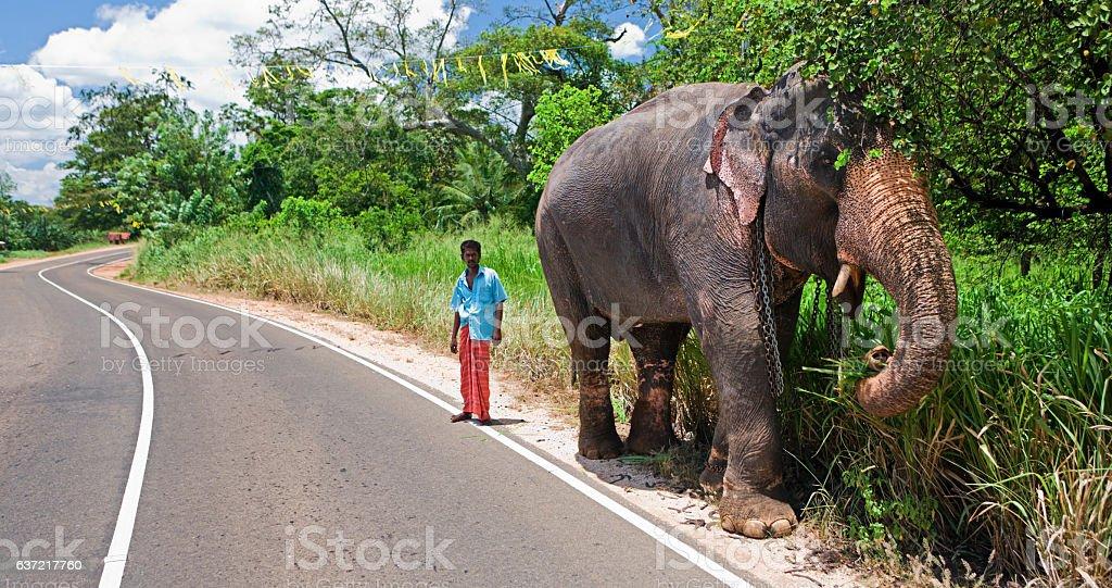Mahout with his elephant. Sri Lanka stock photo