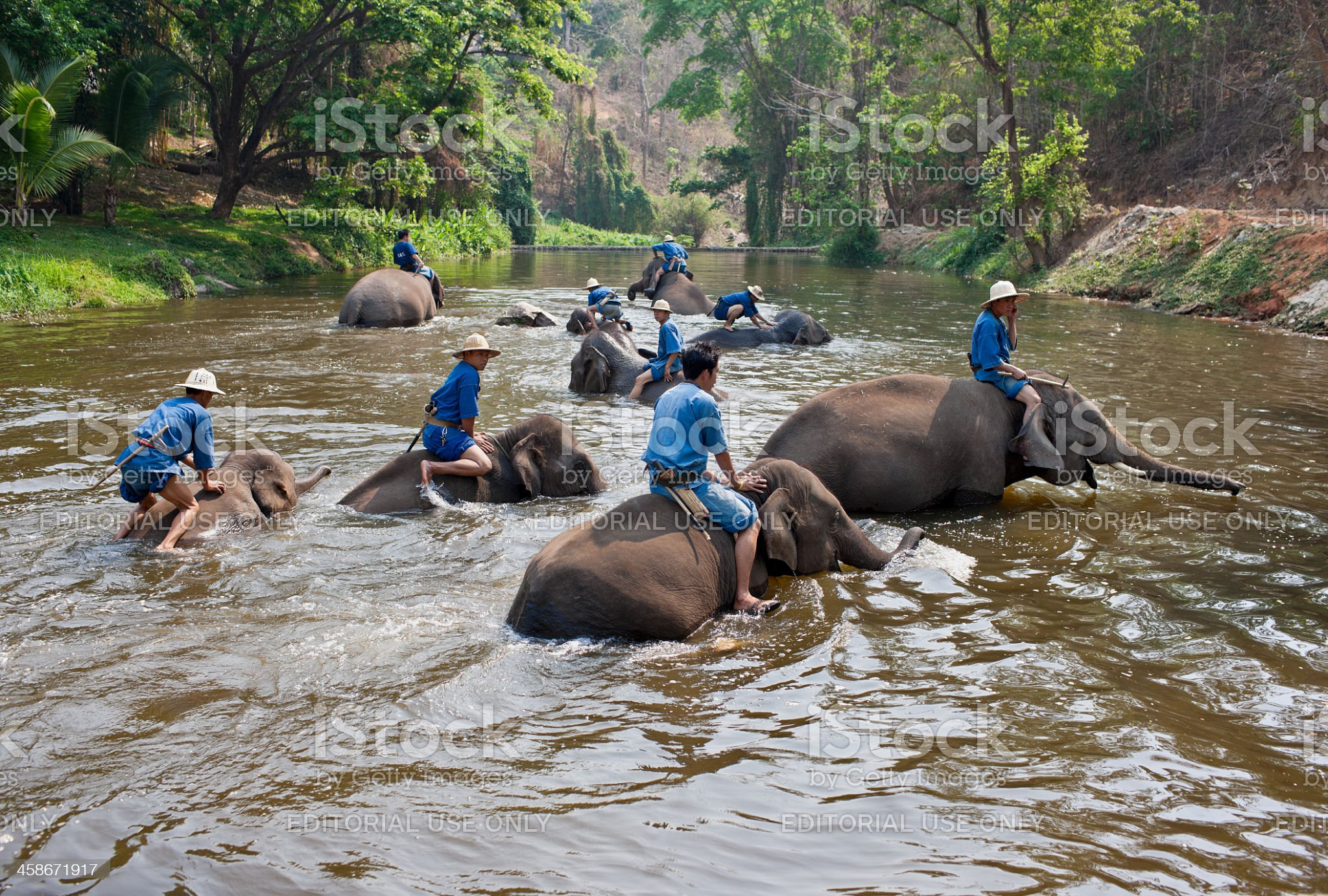 Mahouts washing elephants. royalty-free stock photo