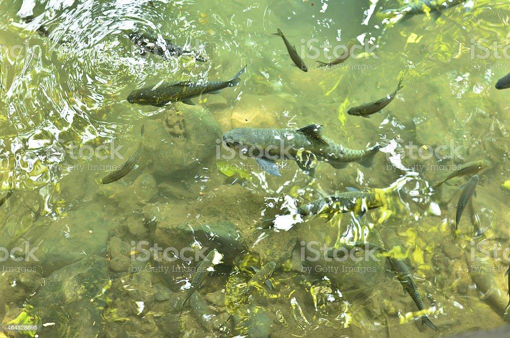 Mahseer barb at fish cave Mae Hong Son Province.THAILAND stock photo