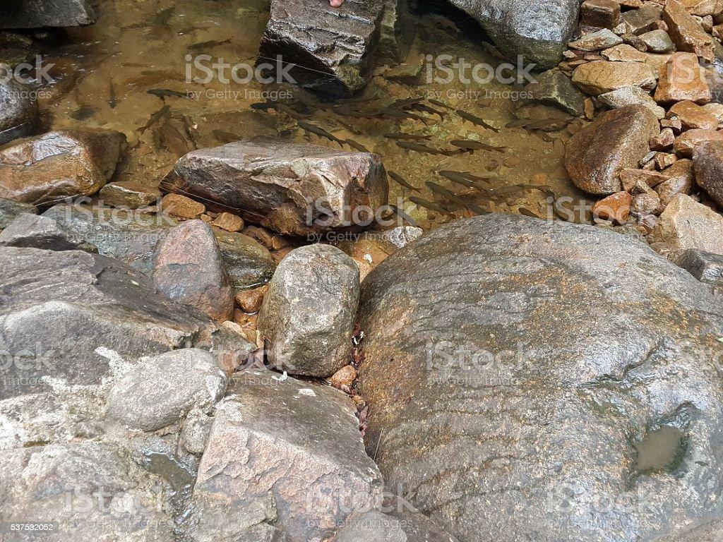 Mahseer barb fish in waterfall stock photo