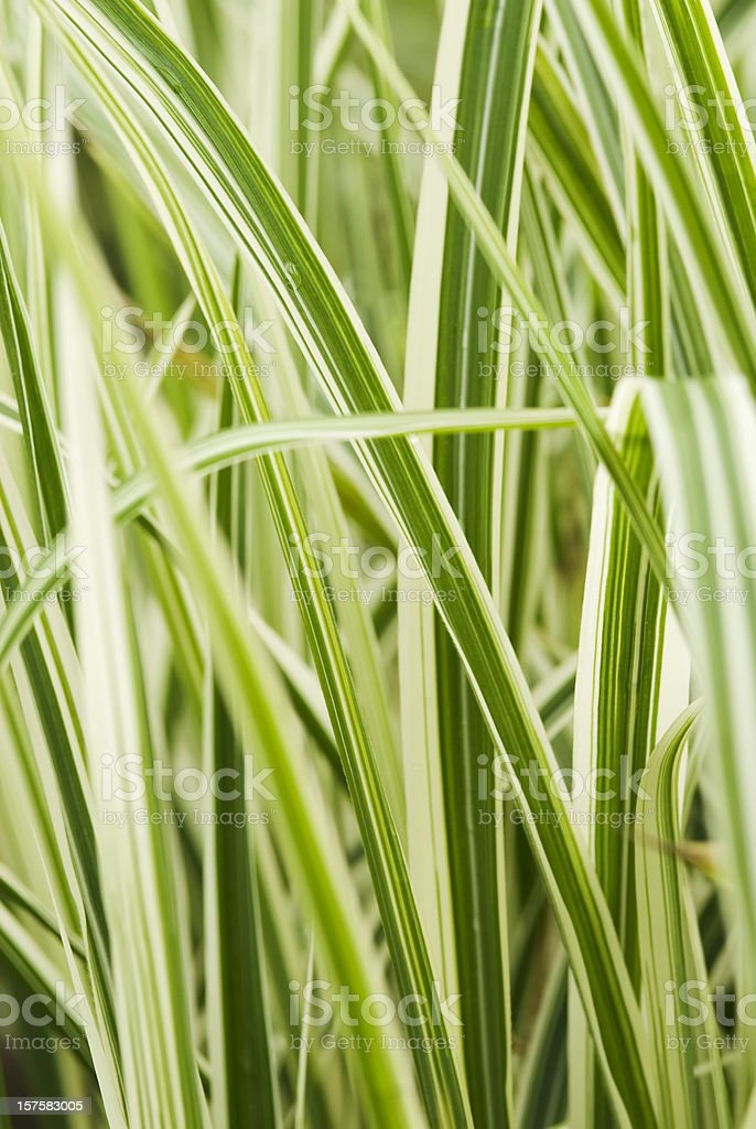 Maiden grass (Miscanthus sinensis) 'Dixieland' royalty-free stock photo