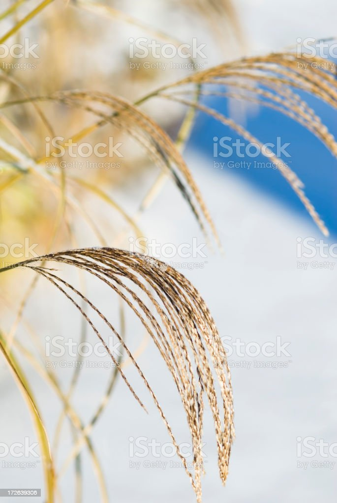 Maiden Grass in the snow stock photo