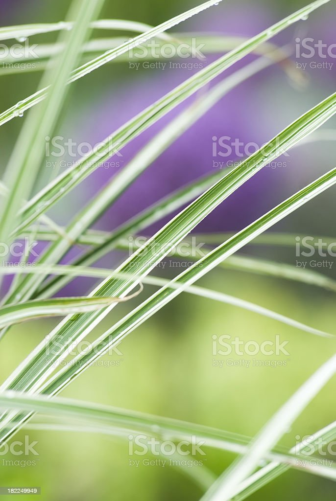 Maiden Grass (Miscanthus sinensis) 'Morning Light' royalty-free stock photo