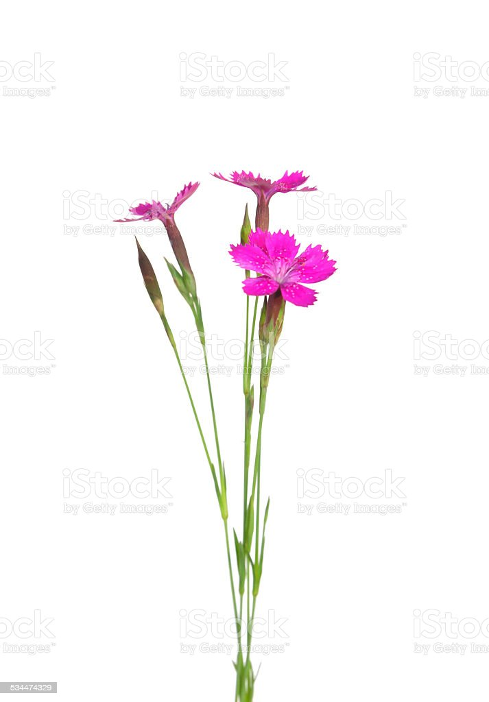 Maiden pink (Dianthus deltoides) stock photo