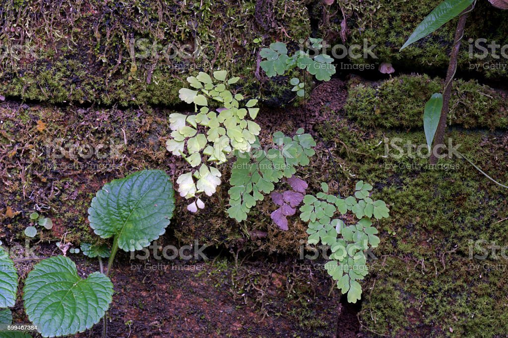 Maidenhair fern in the wall stock photo