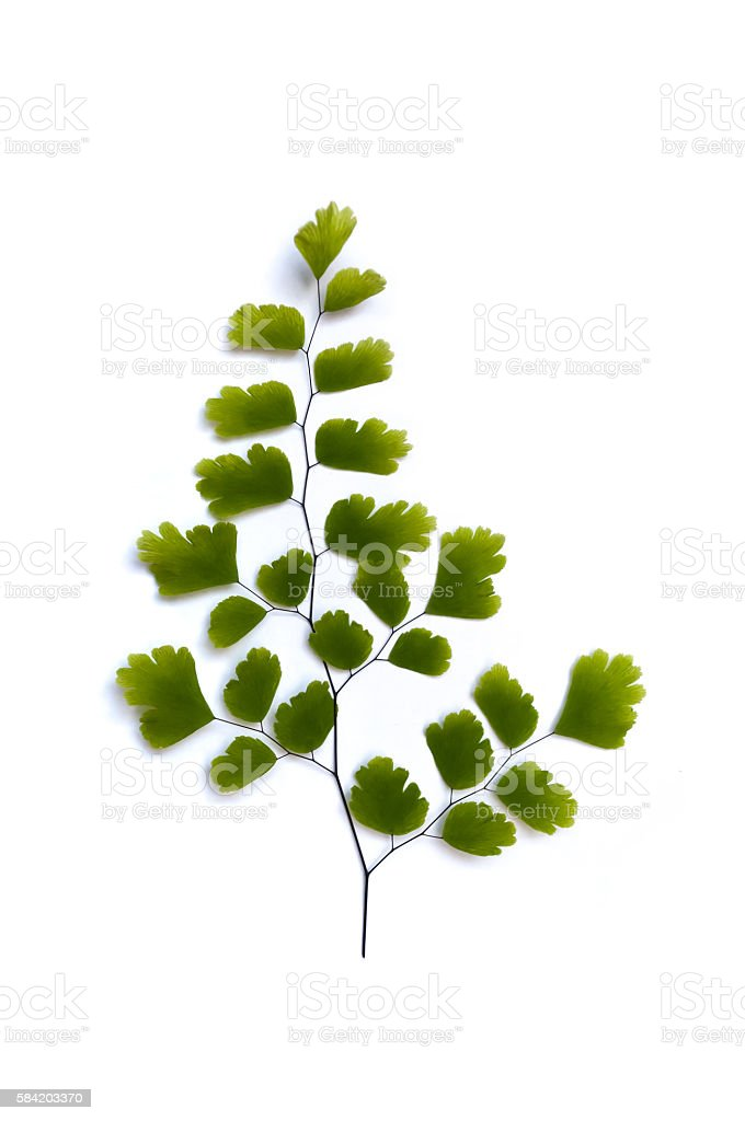 Maidenhair fern leaves stock photo