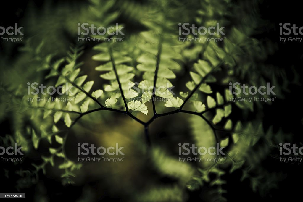 Maidenhair Fern royalty-free stock photo