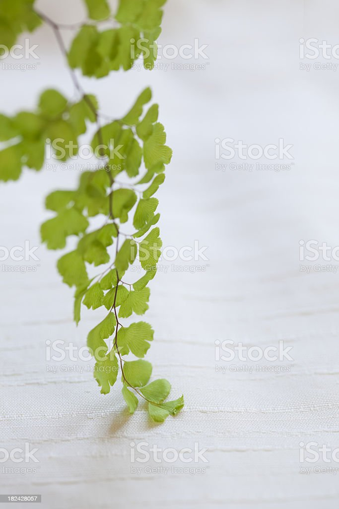 Maidenhair Fern (Adiantum capillus-veneris) royalty-free stock photo