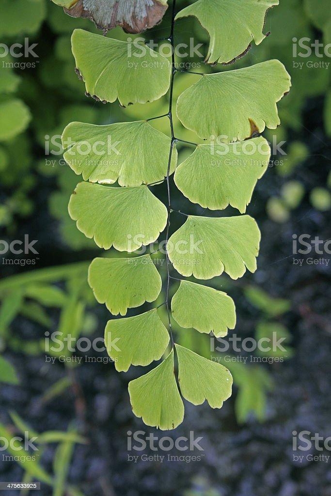 Maidenhair fern (Adiantum pedatum) royalty-free stock photo