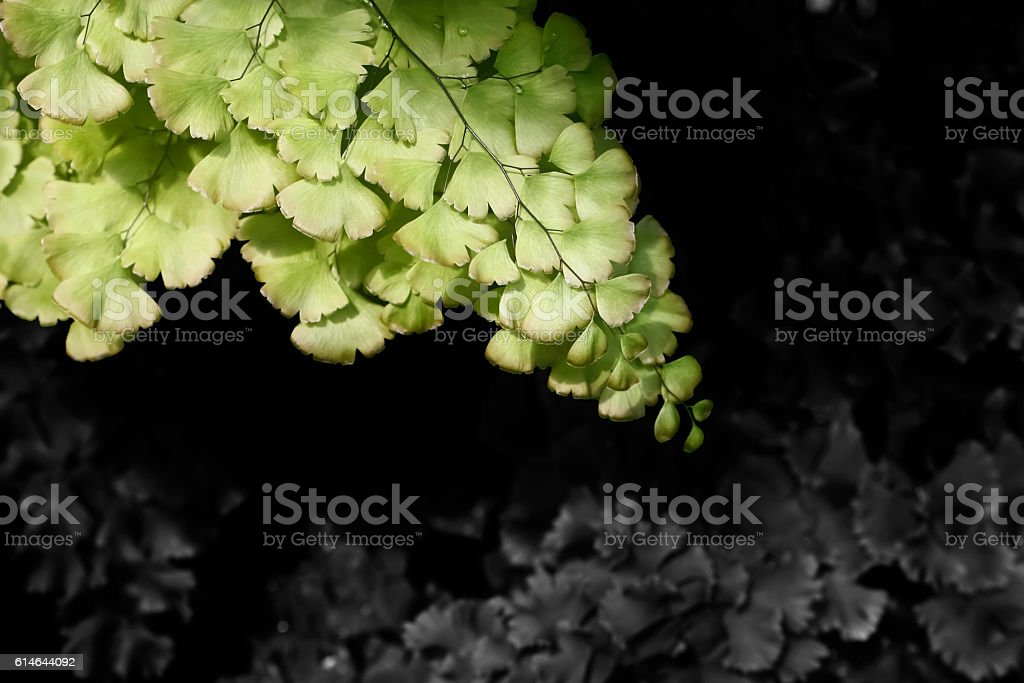 Maidenhair Fern with bi color fronds. stock photo