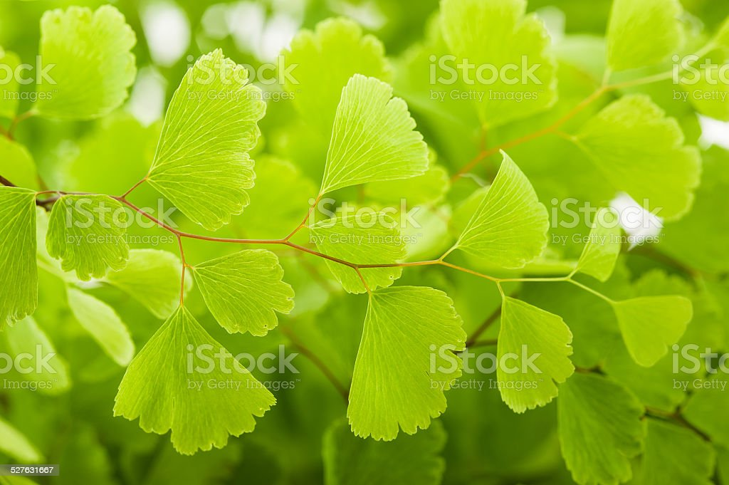 Maidenhair stock photo