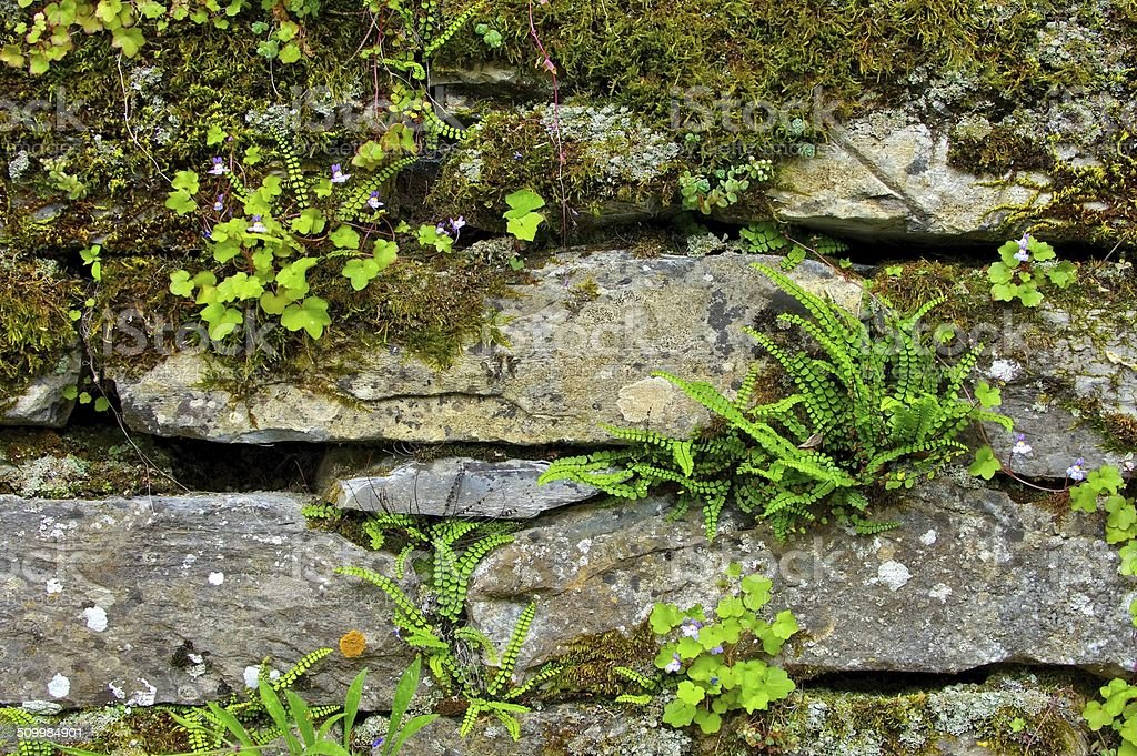 maidenhair spleenwort stock photo