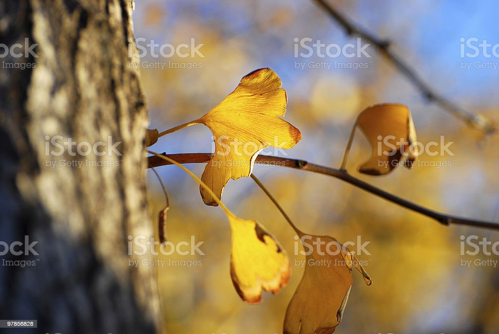 maidenhair tree and gingkgo leaves stock photo