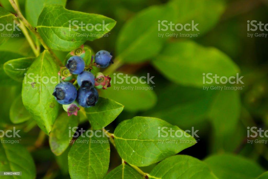 maine blueberry tree stock photo