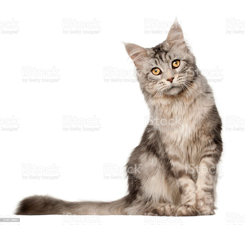 Maine Coon cat, 1 year old, sitting stock photo