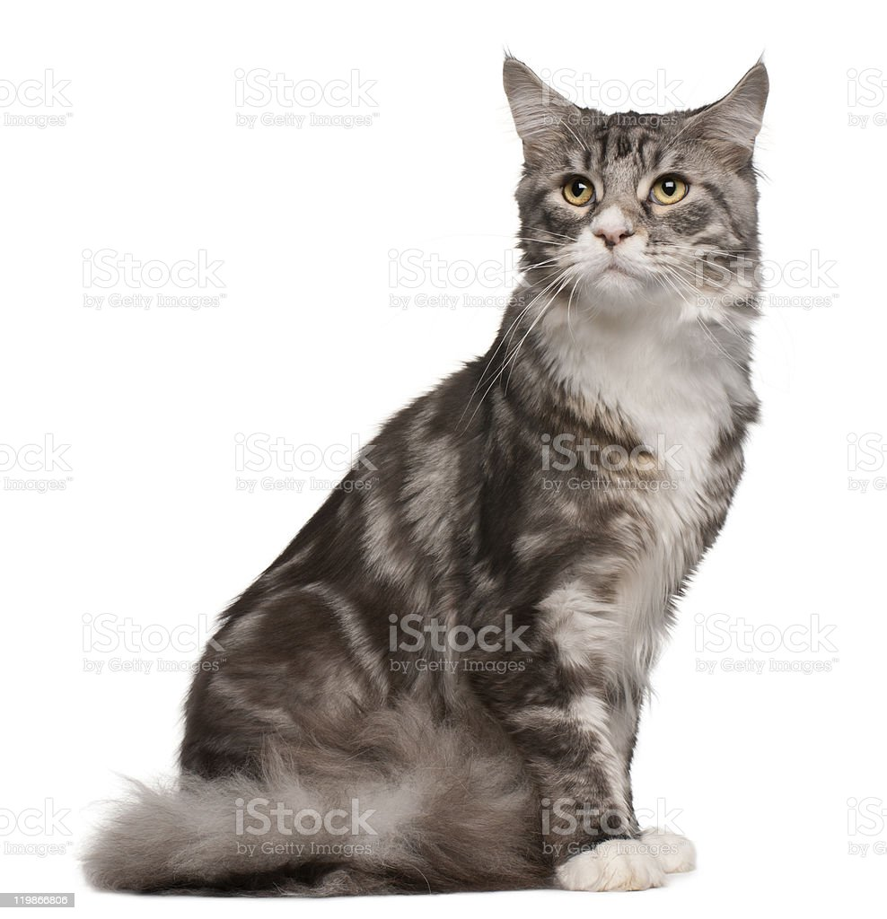 Maine coon cat, 1 year old, sitting, white background. royalty-free stock photo