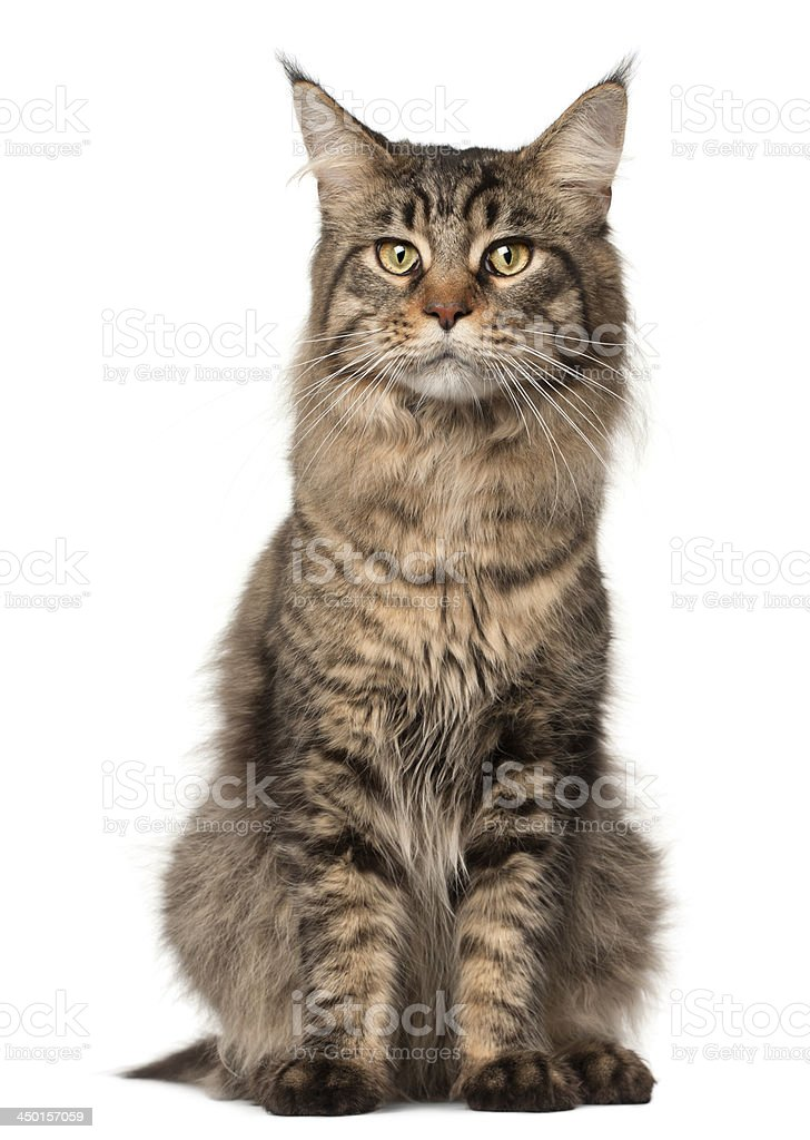 Maine Coon cat, 2 years old stock photo