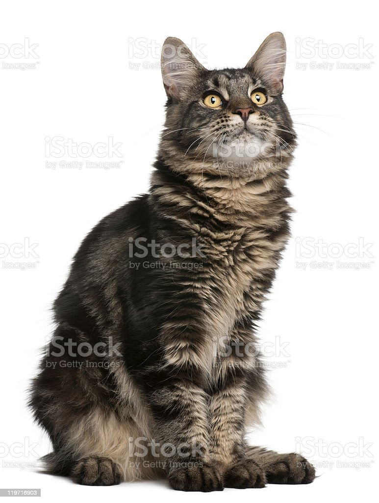 Maine Coon cat, 6 months old, sitting, and looking up. royalty-free stock photo