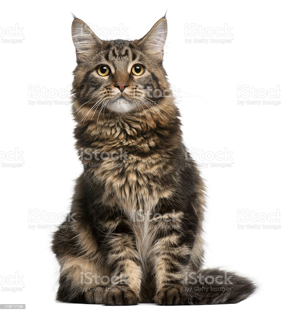 Maine Coon cat, 6 months old, sitting, white background. stock photo