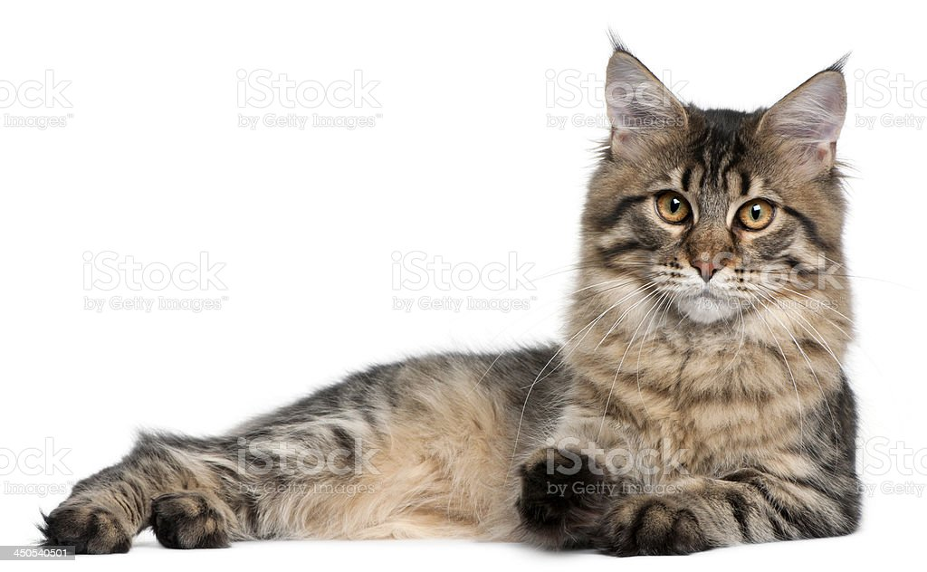 Maine Coon cat, 9 months old stock photo