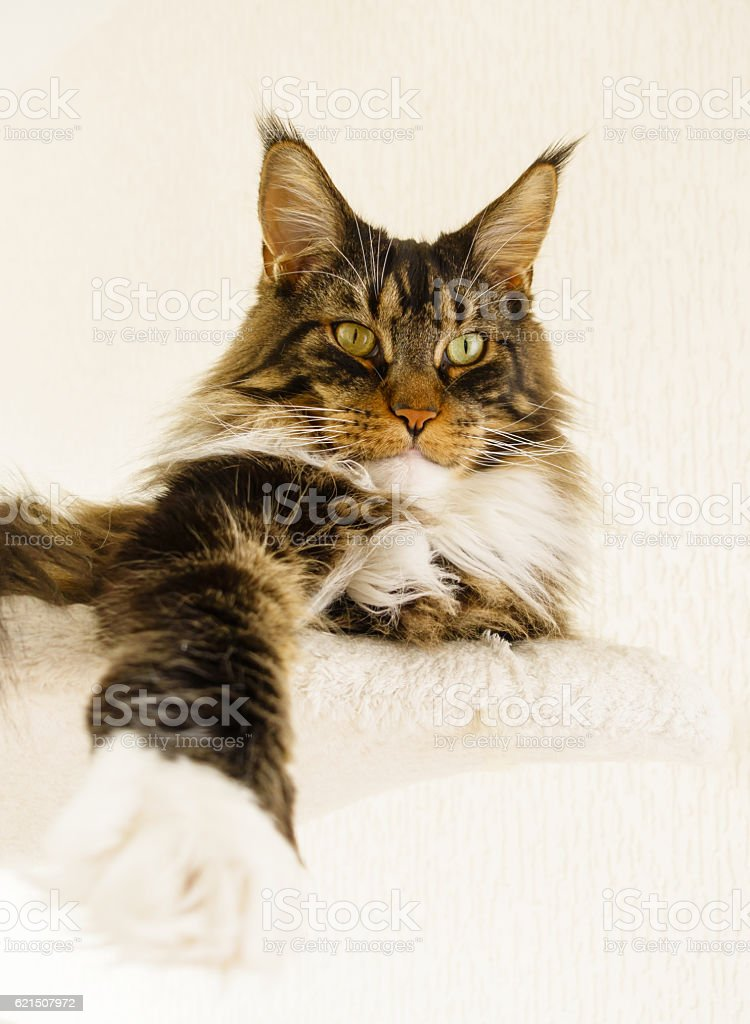 Maine Coon Cat Boy laying with Leg stretched forward stock photo