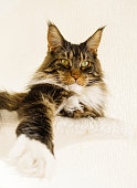 Maine Coon Cat Boy laying with Leg stretched forward