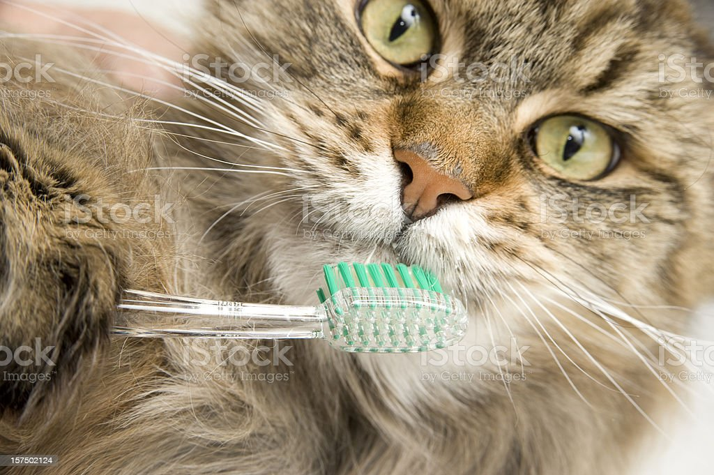 Maine Coon Cat Dental Hygiene, Brushes Teeth. stock photo