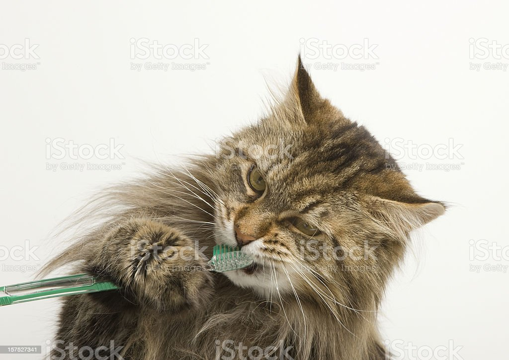 Maine Coon Cat Dental Hygiene with Tooth Brush stock photo