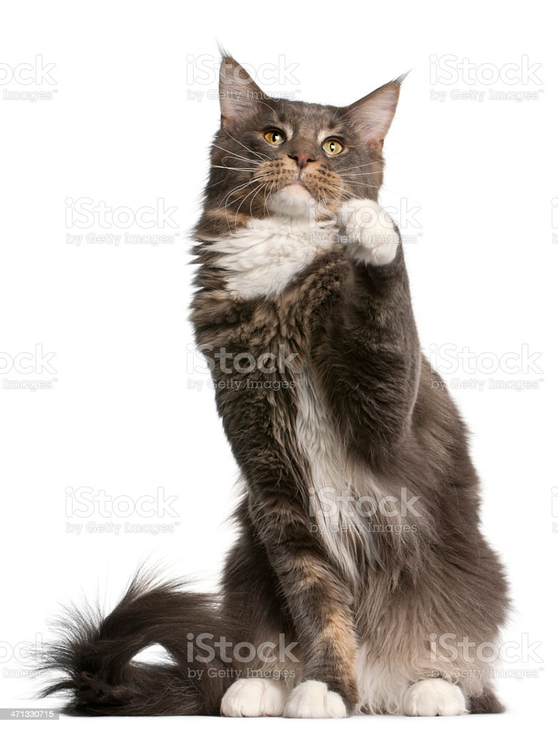 Maine Coon cat, eleven months old, sitting, white background. stock photo