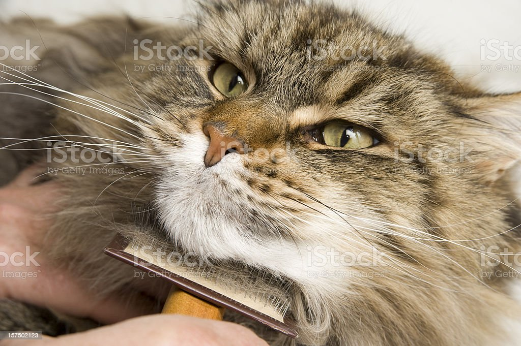 Maine Coon Cat Grooming with a Brush stock photo