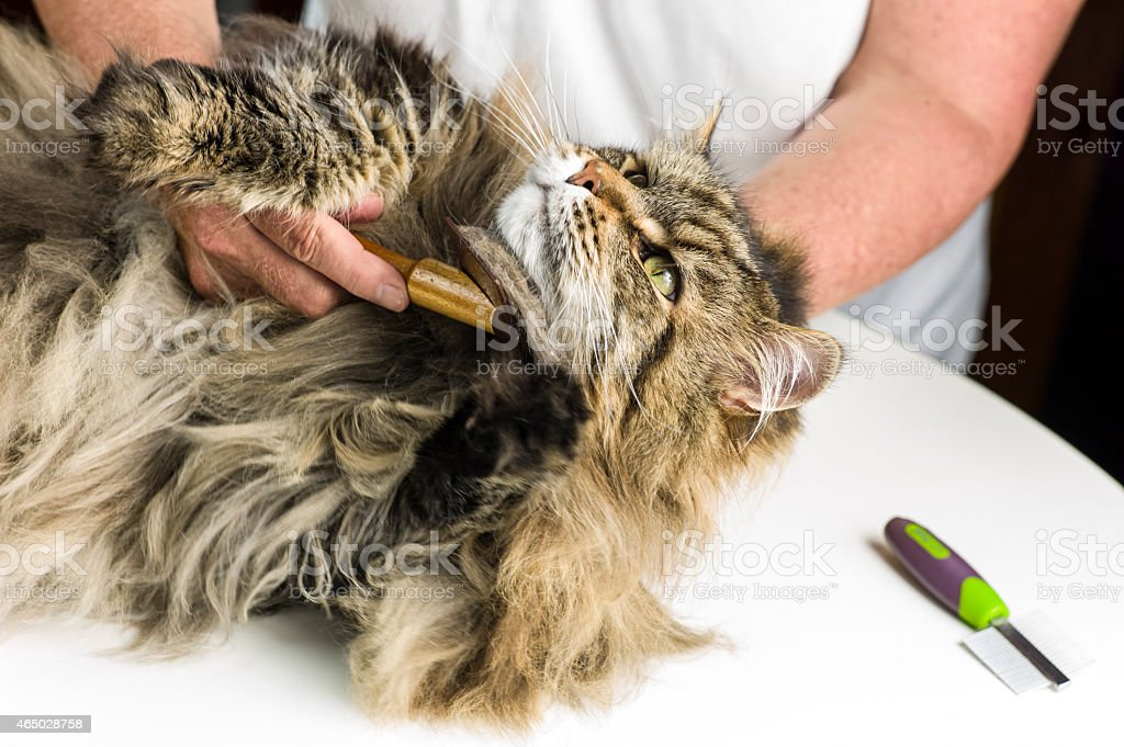 Maine Coon Cat Grooming with Brush and Comb. stock photo