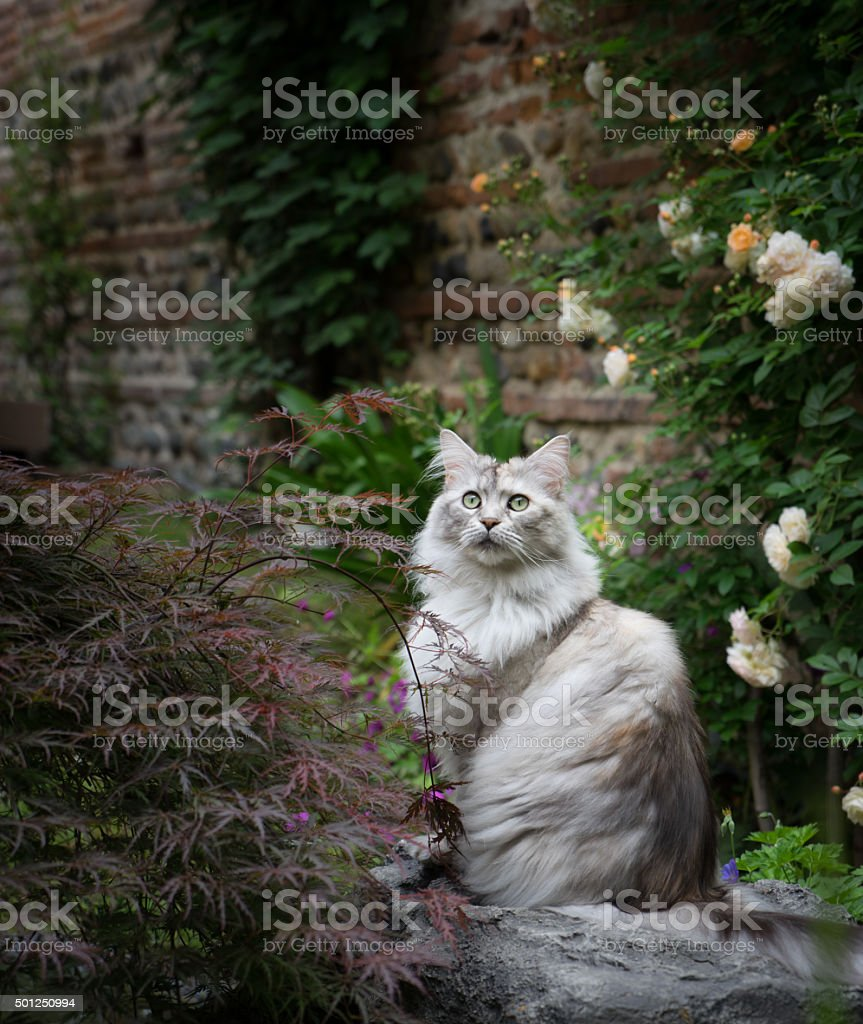 Maine Coon cat in garden stock photo